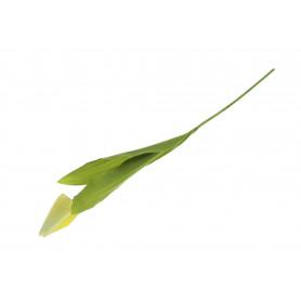 Tulipan gałązka pojedyncza