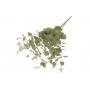 Bukiet eukaliptusa