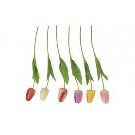 Tulipan pojedynczy