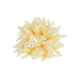 Agapanthus główka kwiatowa
