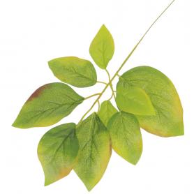 Liść Mango